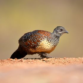 Painted Spurfowl (Male)