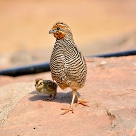 Jungle Bush Quail (Male)