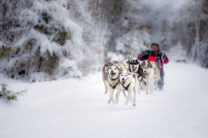 Dog sledding by Jtrojer - People And Animals Photo Contest