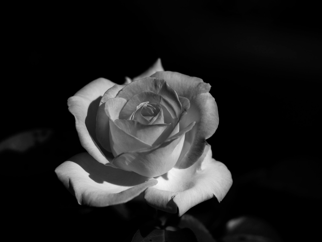 more black and white rose experiments this time with a 2 tone white rose with pink edges