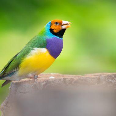 a beautiful close up of a Gouldian Finch bird