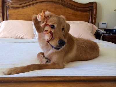 golden retriever on a bed