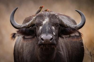 Cape buffalo cow.