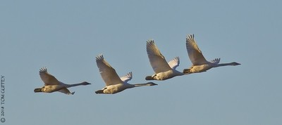 Trumpter Swans in formation