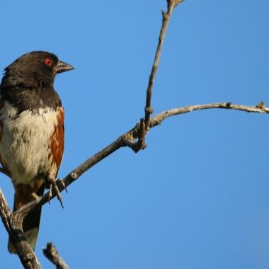 A spotted towhee sitting on a branch for a spell. They are usually on the ground and very hard to see