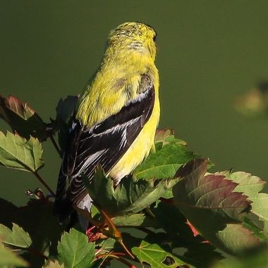 IMG_1893 American Goldfinch