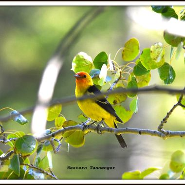 Tanagers are part time residents of the Merritt area.