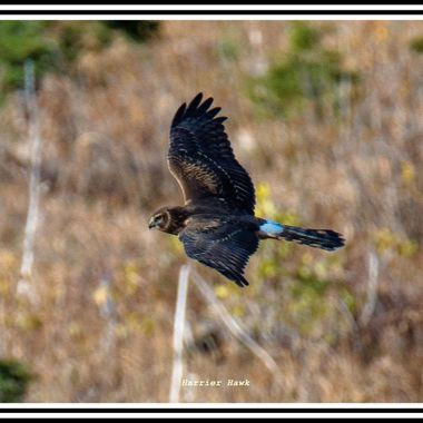 A Marsh Harrier cruising over the grasslands looking for rodents.