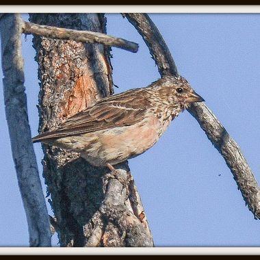 DSC_8824 Sparrow?