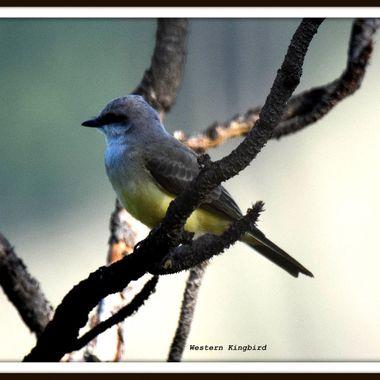 DSC_8646 Western Kingbird