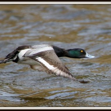 A male lesser Scaup in flight near Cache Creek B C