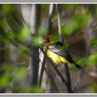 A Western Tanager on a limb near lower Nicola B C