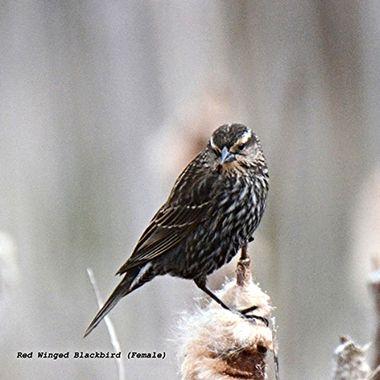 Redwinger Blackbird