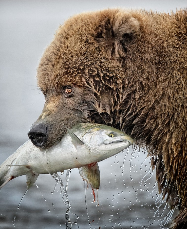 The Eyes Tell the Story by anitarossview - Bears Photo Contest