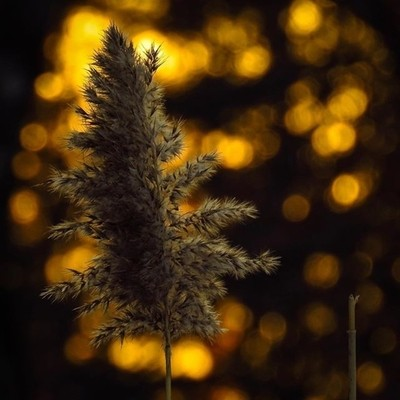 @photoarcade_contest I wandered upon this common reed at sunset. I haven't been doing much with light lately.  #trailsend #commonreed #sunset #bokeh #lastlight #settingsun #wander #wetlands #woods #outthebackdoor #backyardnature #canon_photos #canonwhatel