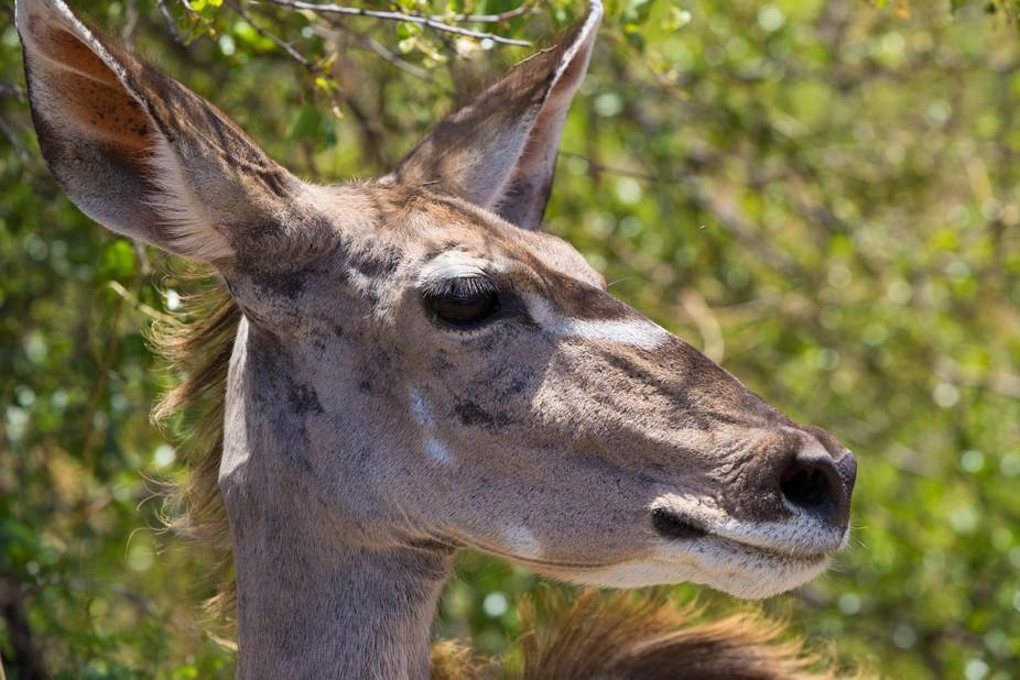 Kudu buck close up in South Africa, Pilanesberg National Park