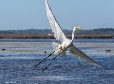 Great Egret takes off-1-2