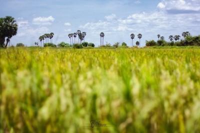Riz & palm trees