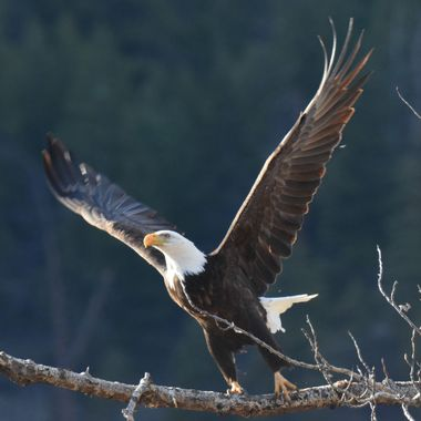 An adult Bald Eagle leaving the tree his nest was in along the Nicola River near Merritt B C