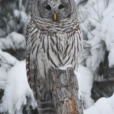 This Barred Owl was sitting on a stump watching me in a snowstorm. I almost walked right by him