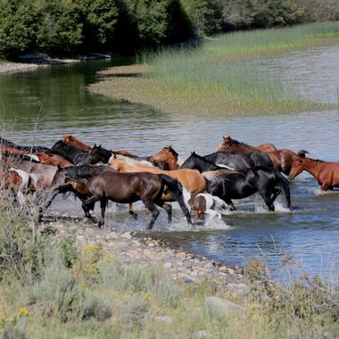 A herd of horses getting a drink at Douglas Lake B C
