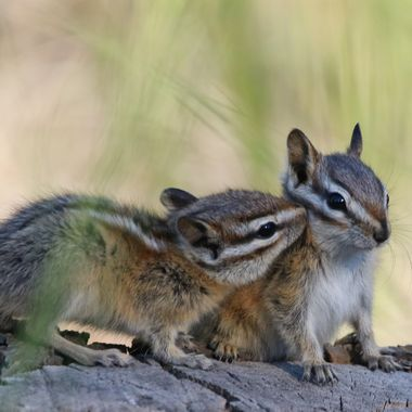 Two Chipmunks showing affection near Stump Lake B C
