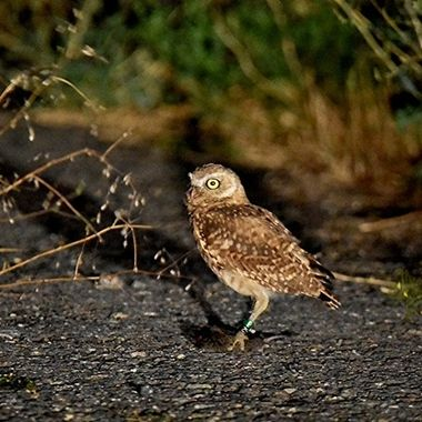 This little owl was hunting along the road and had himself a mouse.