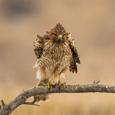 Red-tailed hawk -5336