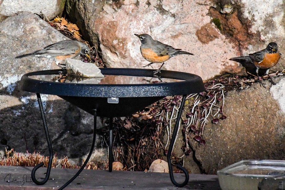 Shortly after I put out the heated birdbath, the robins found it.