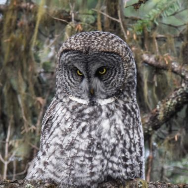 A great grey owl gives a look of displeasure.