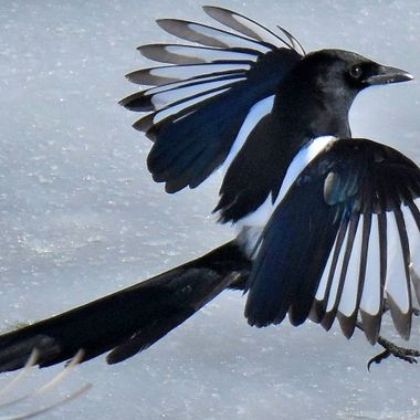 A magpie on the ice.