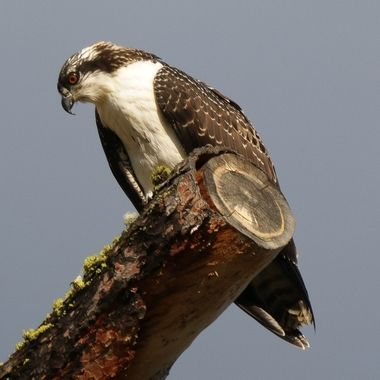 An osprey sits on a limb beside his nest near Marquart Lake B C