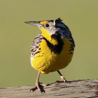 Meadowlarks are plentiful around Merritt in the spring and summer but go south for the winter.