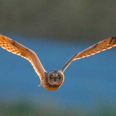I hung around til nearly dark one evening in an area where short eared owls frequent in hopes of getting a shot or two and I got lucky.