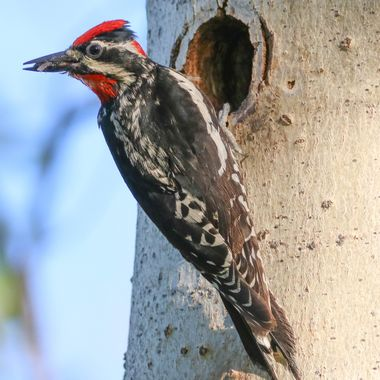 A Red Naped Sapsucker feeding it's young.