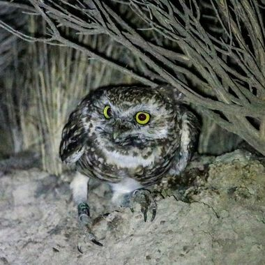 A burrowing Owl is hiding under some weeds along a road at night. I saw it go there and got the picture with the aid of my flashlight.