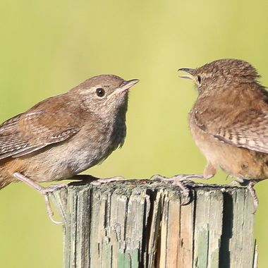 A pair of House Wrens sitting on a post arguing.