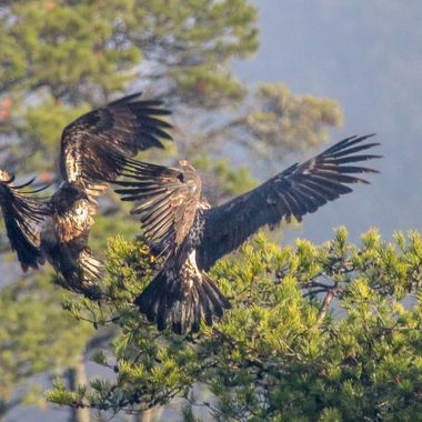 Sometimes these juvenile Eagles find the darndest things to fight over.These two seem to be fighting over a limb