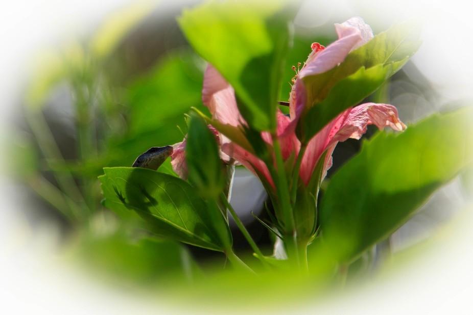 Skink viewed through Hibiscus leaf, Rarotonga
