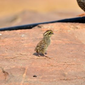 Jungle Bush Quail (Chick)