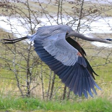 Blue Heron in flight at Twassen B C