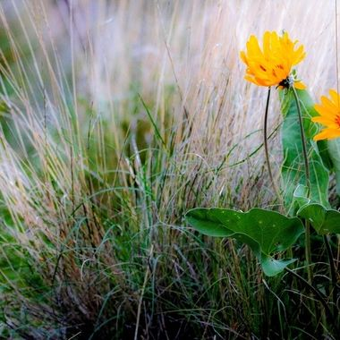 Sunflowers growing in bunch grass country
