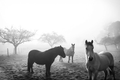 Ponies and Morning Fog