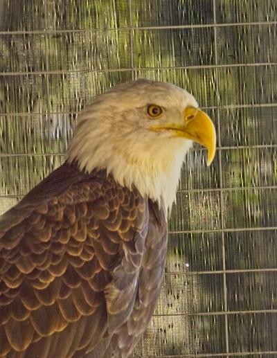 Living Desert Bald Eagle 2