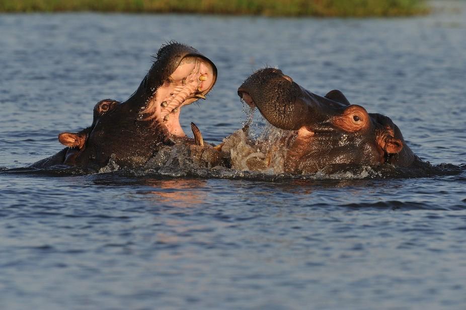 Hippo fight....SB1_2257