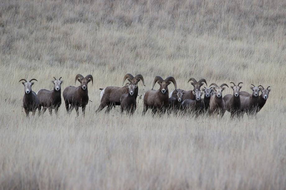 California Bighorns