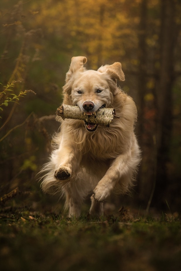 Golden vs Stick by Michael_Higgins - Image Of The Month Photo Contest Vol 29