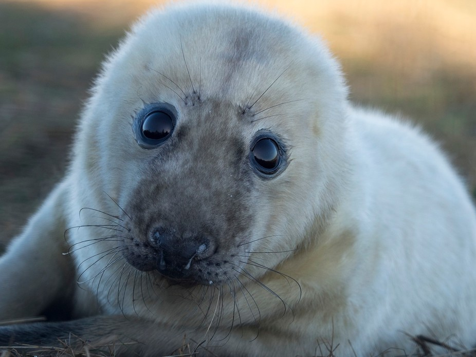 I took this image in November at the grey seal colony at Donna nook in Lincolnshire this is a ful...