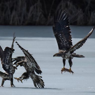 Three Eagles fighting over a fish