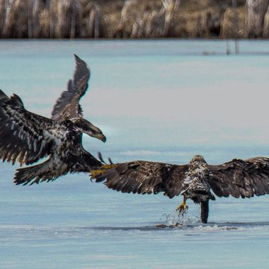 Two eagles are fighting over a fish at Englishman Lake B C